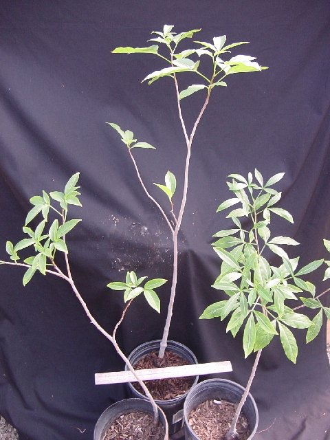 ist das hier ein baobab ficus ginseng pflanzenbestimmung pflanzensuche green24 hilfe. Black Bedroom Furniture Sets. Home Design Ideas